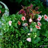 Thumbnail image for Colorful Coleus and Other New Container Plants