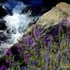 Thumbnail image for Wildflowers of the Eastern Sierras