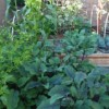 Thumbnail image for Vegetable Garden Tips for Healthy Foods