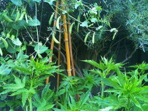 cool-season peas on bamboo trellis