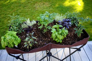Grow food in small spaces. Here are three tomato plants, five basil plants and more.