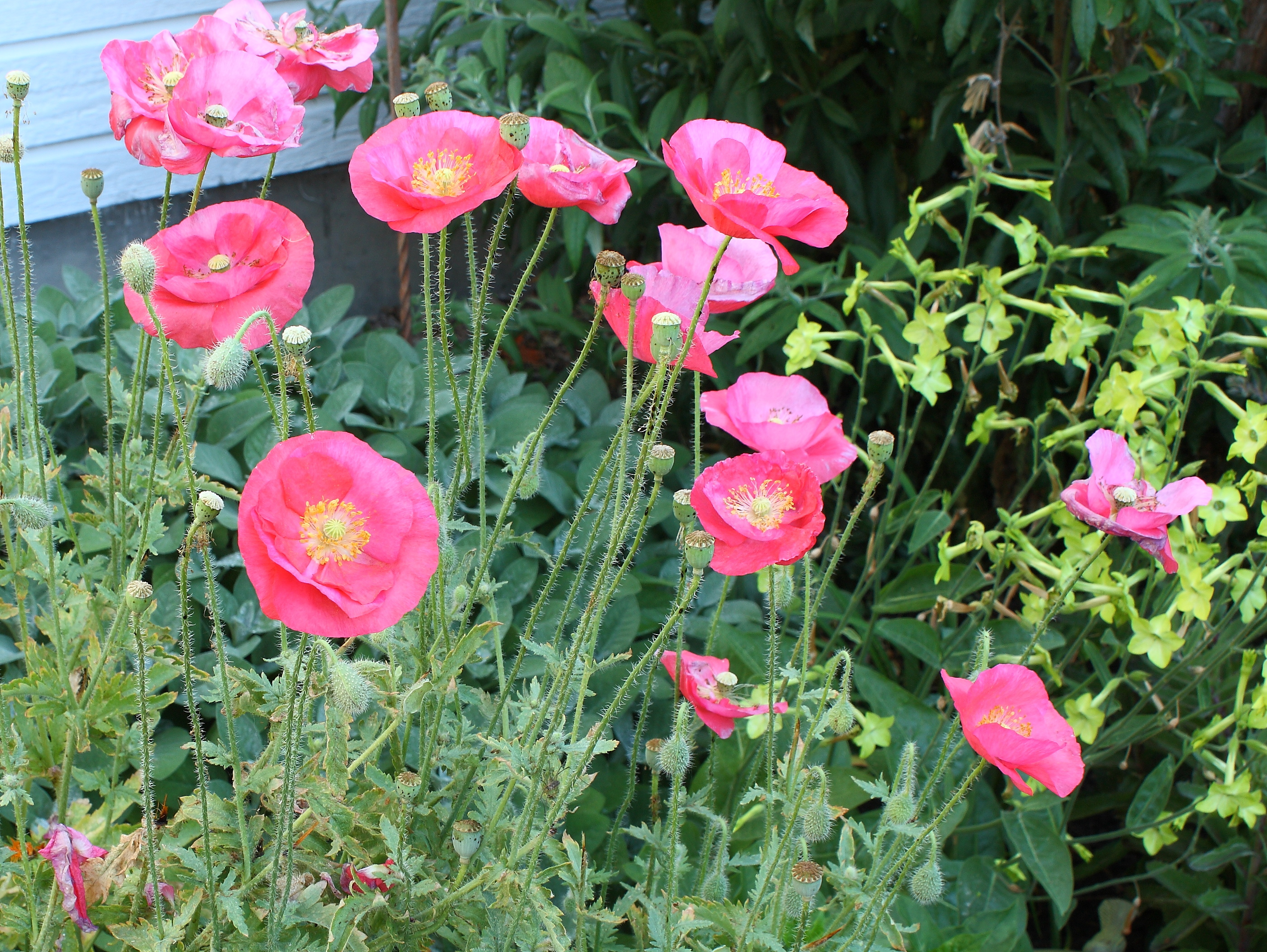 Growing poppies in the garden somehow dhlflorist Images