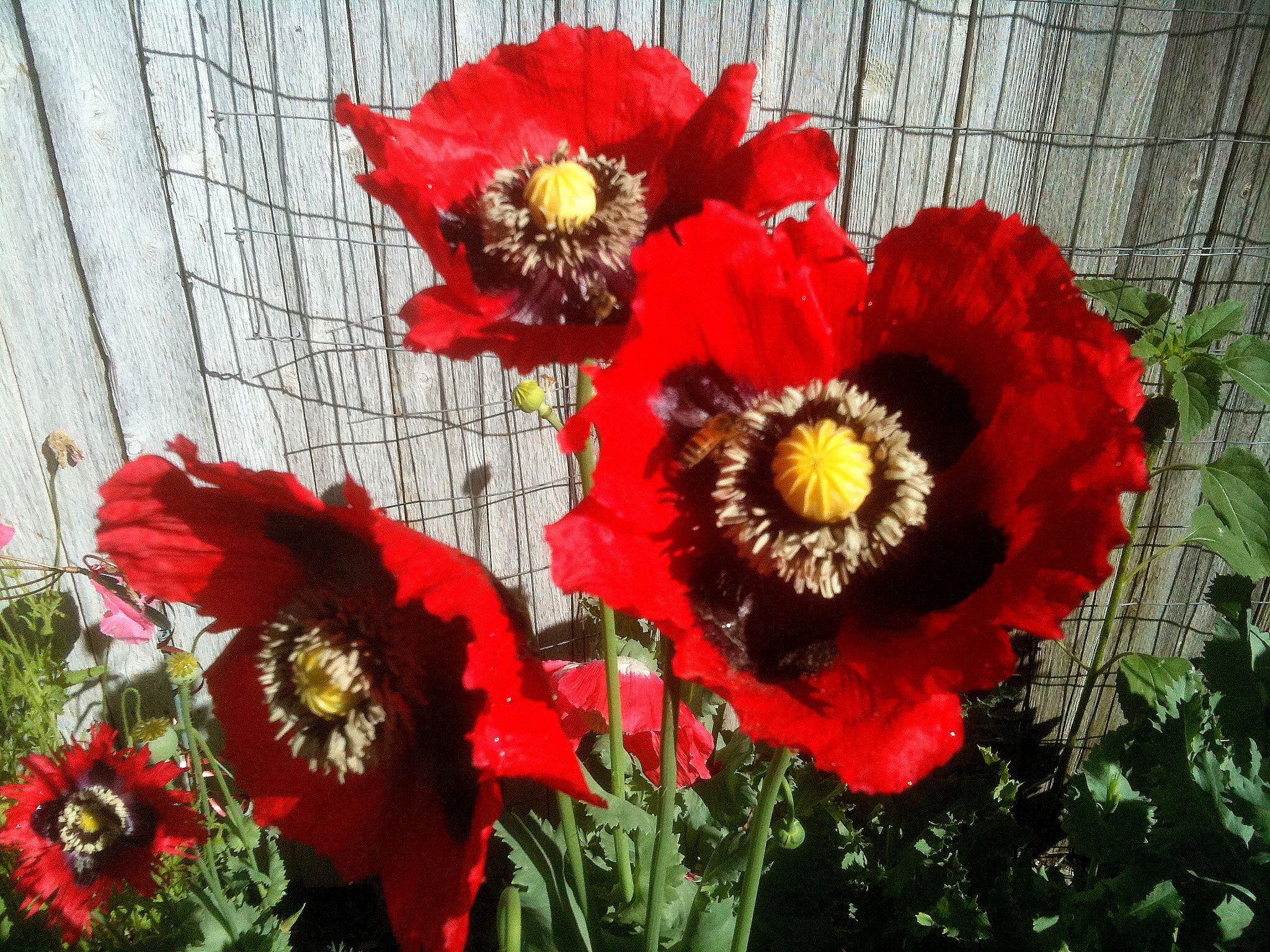 Growing poppies in the garden to plant dhlflorist Images