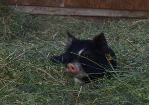 Little Berkshire pig at Double XL Ranch.