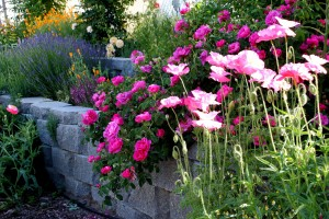 Post image for Growing Poppies in The Garden