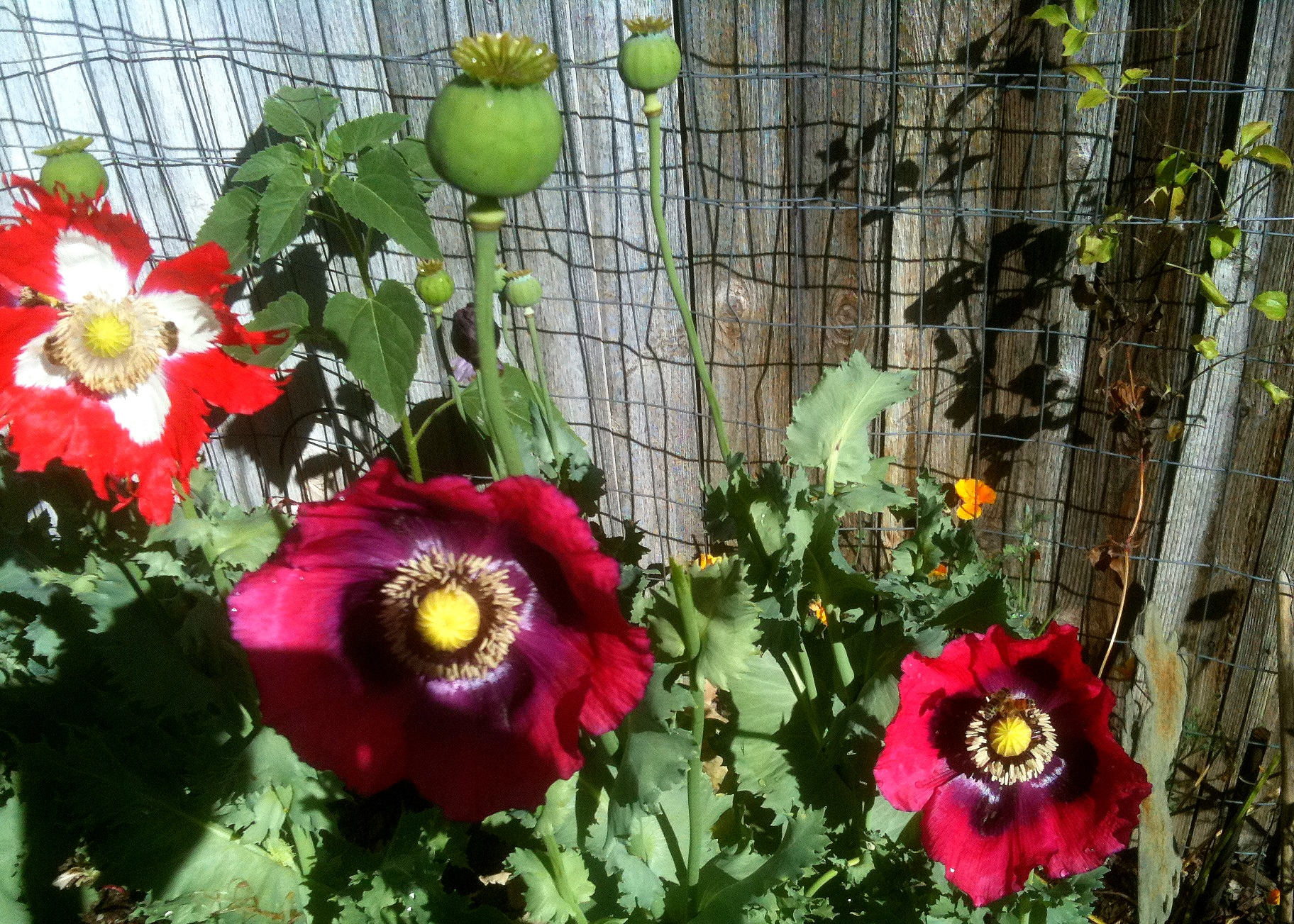 Growing Poppies In The Garden