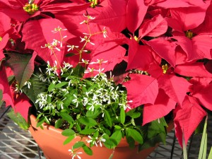 Poinsettas for holidays