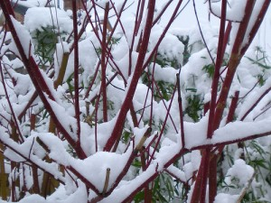 shrubs with red stems