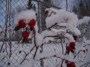 Rose hips are high in vitamin C and pretty in winter garden