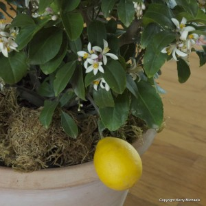 grow lemons indoors
