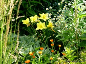 'Going Bananas' daylilies by proven winners