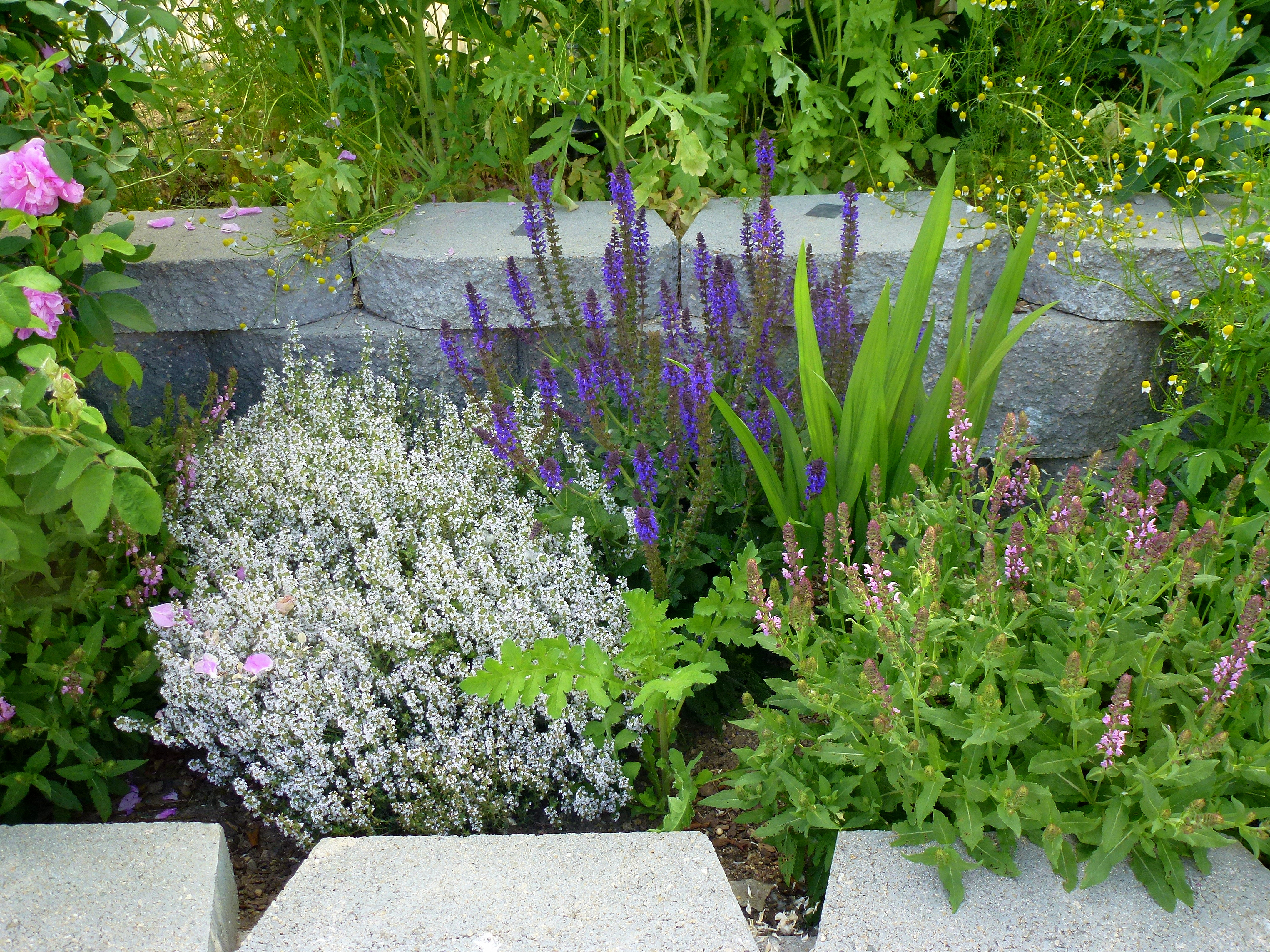 Flowering Thyme Salvia Chamomile And