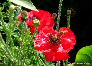 red 'Shirley' poppies with bee