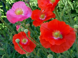 'Shirley' poppies