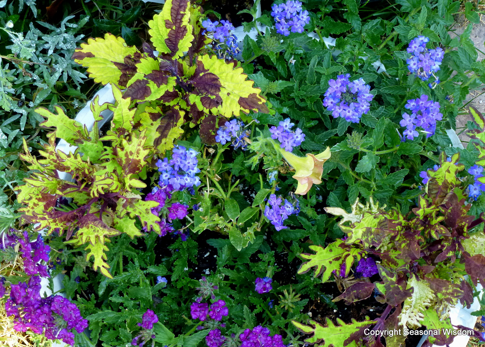 Producers Plants http://www.seasonalwisdom.com/2012/07/colorful-coleus-and-other-new-container-plants/