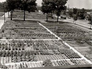 World War II victory garden in Chicago vintage photo