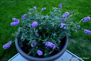 Butterfly bush for containers