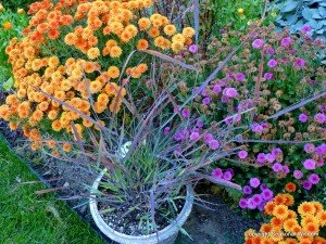Panicum virgatum Cheyenne Sky with purple and orange mums
