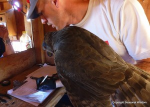 measuring the raptors for research