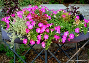 Proven Winner supertunia with herbs and coleus
