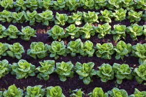 Gardening tips for growing foods, like these lettuces, as well as other edible and ornamental plants.