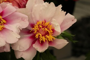 Pink Peonies grow at 2013 Chelsea Flower Show