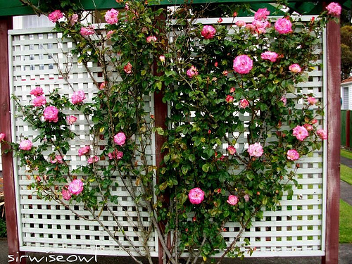 Creating a lattice trellis garden at your home for Treillis support plante grimpante