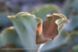 Velvet elephant ear  (Kalanchoe beharensis) is planted in this Billy Goodnick designed garden.