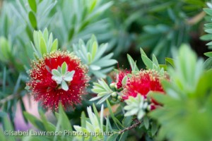 Callistemon 'Little John' bottlebrush shrub that only grows 3 feet tall and wide. Planted by Billy Goodnick.