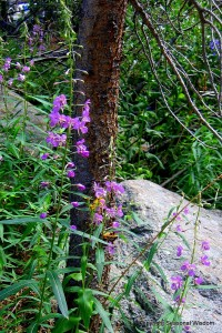 fireweed is among wildflowers of the eastern sierras
