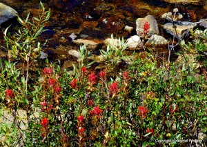 Different types of paintbrush are among the wildflowers of the eastern sierras.