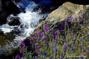 Post image for Wildflowers of the Eastern Sierras