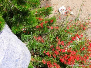 fuchsia-zauschneria-californica is among wildflowers of the eastern sierras