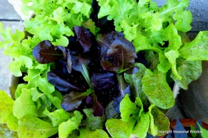 Lettuces with fabulous plant foliage
