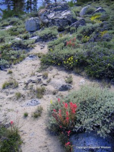 Paintbrush and sulphur flowers are wildflowers of the eastern sierras