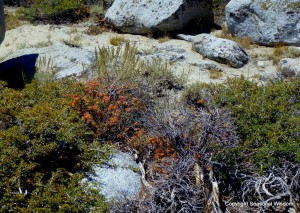 Sulphur flowers turn burnt orange in the drought, showing resilience among wildflowers of the eastern sierras