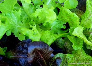 Lettuces with fabulous plant foliage, up close