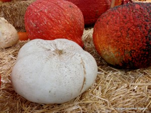 Red Warty Thing pumpkins are among the unusual pumpkins in this story.