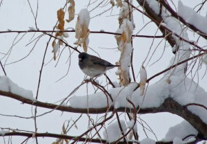 A songbird sits on a branch in snow