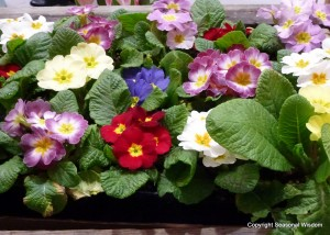 Primroses in different colors belong in spring garden