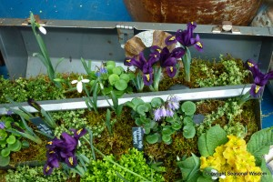 spring garden in tool box, with irises, snowdrops and other flowers