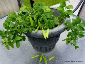 Tom Thumb peas only grow 8 inches tall, making them unusual vegetables for small gardens.