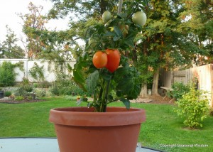 Window box roma tomatoes are unusual vegetables for small gardens.