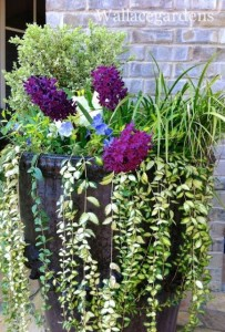 Pretty container garden design with variegated boxwood, Acorus grass, Vinca 'Illumination' and Hyacinth 'Woodstock'