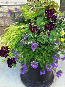 Container garden design with  purple Angelonia, Coleus 'Mosaic', Euphorbia 'Diamond Frost', Calibrachoa 'Superbells Yellow', Scaevola 'New Wonder', Geranium 'Contessa Purple' (Black Magic) and Lonicera.