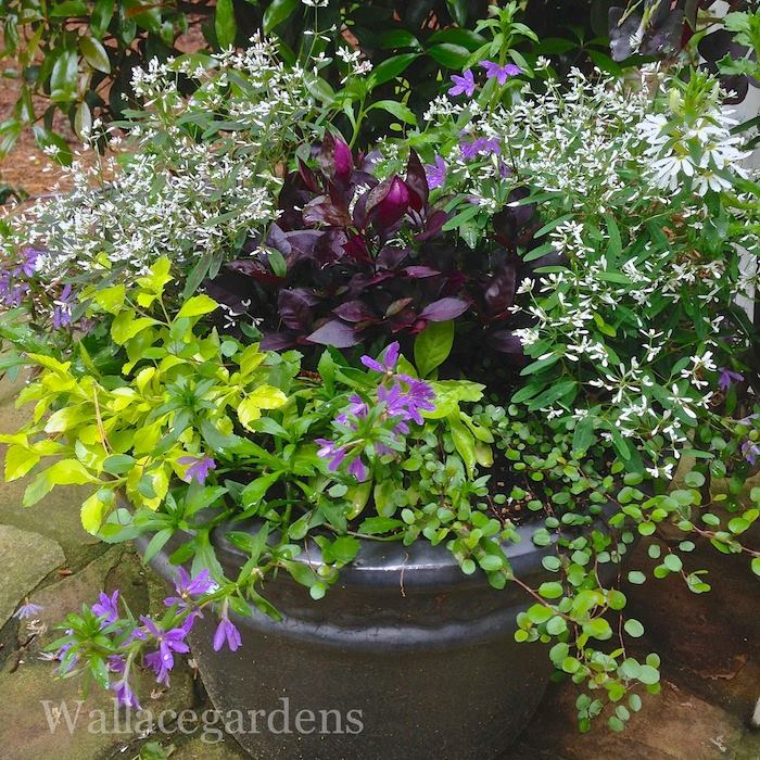 Container Garden Design pretty container garden design with variegated boxwood acorus grass vinca illumination and Stunning Container Garden Design With Foliage And Flowers