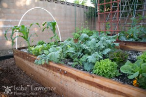 kale, lettuce and corn grows in vegetable garden