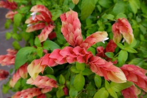 Shrimp plant has pretty foliage in this water-wise garden