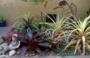 Variegated pineapples and bromeliads in water-wise garden