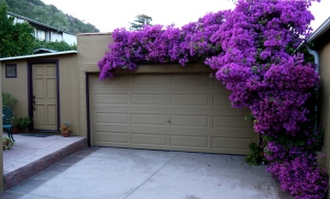 Bougainvillea on garage in water-wise garden